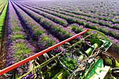 Europe, France, Provence Alpes Cote d'Azur, Plateau de Valensole, Harvesting first rows of lavender