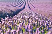 Europe, France, Provence Alpes Cote d'Azur, Plateau de Valensole, Lavender Rows