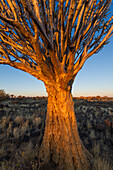Quivertree forest, Southern Namibia, Africa, Aloe in bloom