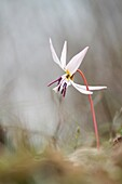 Lombardy, Italy, Dog's tooth violet