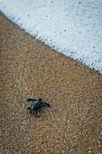 Ras Al Jinz, Turle Reserve, Sultanate of Oman, Middle East, Newborn green sea turtle returning to sea