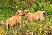 Masai Mara Park, Kenya, Africa Gestures of affection between two lion cubs