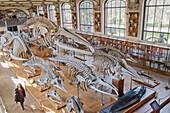 France. Paris 5th district. The Jardin des plantes (Garden of Plants). The Gallery of Anatomy. Cetacean skeletons