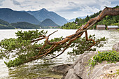 Pine Tree, natural heritage at Lake Grundlsee, Bad Aussee, Styria, Austria, Europe