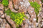 Saxifrage Saxifraga aizoides, Bad Aussee, Styria, Austria, Europe