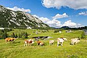 Cattle at Tauplitzalm, Totes Gebirge, Styria, Austria, Europe