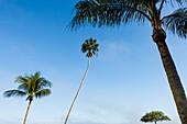 Ungewöhnlich gewachsene Bäume vor blauem Himmel, Fort Myers Beach, Florida, USA