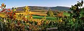 vines, Liel, Black Forest, Germany