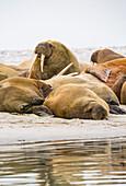 Walruses at Gravnesodden, Spitzbergen, Svalbard Foto Bernard van Dierendonck