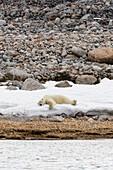Sleeping polar bear on island Phippsøya, Spitzbergen, Svalbard