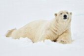 Polar bear on pack-ice, drift-ice Ice edge north of Spitzbergen, Svalbard at 81°14,3N und 021°08,6 E