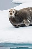 Bearded seal on ice North of Spitzbergen, Svalbard