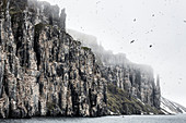 250'000 thick-billed murre nest on the basaltic cliffs of Alkefjellet Spitzbergen, Svalbard