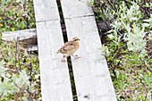 Chick of a ptarmigan on the wooden boards of the Kungsleden trek. Lapland Sweden.