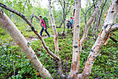 Two grils and a woman hike through a birch tree forest. Trekking on Kungsleden to Vakkotovare hut. Laponia, Lapland, Sweden.