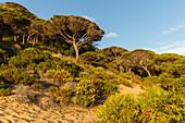 pine trees in Parque Natural de la Brena nature park near Los Canos de Meca, near Vejer de la Frontera, Costa de la Luz, Cadiz province, Andalucia, Spain, Europe