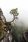 Pine Tree in mist, Pinus sylvestris, Rock formation Bastei, Rathen, Saxon Switzerland National Park, Elbe Sandstone Mountains, Saxony, Germany, Europe