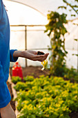 Boy Holds A Small Lettuce In Hand Before Planting It In Greenhouse