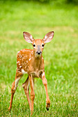 A Curious Young Deer Fawn Exploring A Green Backyard In Rhode Island