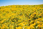Fields Of Golden Rod In Late Summer On Block Island Offshore Of Rhode Island