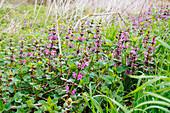 Dead-Nettle, Lamium, Herb