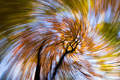 Beech, autumn colours, abstract, Fagus silvatica, Germany