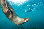 Cape Fur Seals Dive Underwater Near Cape Town, South Africa