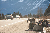 Bighorn Sheep, Ovis Canadensis, On The Side Of The Road In Jasper National Park