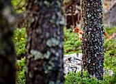 Roseg Valley, Pontresina, Grigioni, Switzerland, A classic Red Squirtel on alert behind a tree