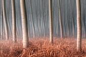 Plain Piemont, Piemont, Turin, Italien, Bäume im Nebel
