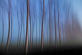 Plain Piedmont, Piedmont, Italy, Abstract poplars grove in the fog