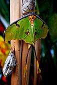 Exemplar von seltener Schönheit und großer Dimension, aus Madagaskar, Der wissenschaftliche Name dieses Schmetterlings ist Argema mittrei, aber es wird gemeinhin als Butterfly Comet