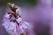 Macro shot of a Calluna Vulgaris, Umbria, Italy