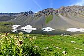Pflanzen von Cirsium Rahmen der alpinen Schottensee Flüela Pass Kanton Graubünden Engadin Schweiz Europa