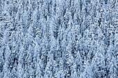 Bäume mit Schnee bedeckt, Engadin, Schweiz