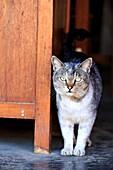 Myanmar, Shan state, Inle lake, Nyaung Shwe township, domestic cat
