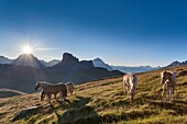 Haflinger horses grazing on the green plain of Mondeval In the background the Becco di Mezzodì, behind Sorapiss left and right of the pyramid of Antelao Europe, Italy, Veneto, Belluno, Dolomites