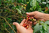 Coffee producer showing the cherries in a coffee plantation in the region of Armenia, department of Quindio, Cordillera Central of the Andes mountain range, Colombia, South America