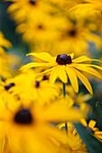 A feel good display of Summer rudbeckia, coneflower or black-eyed susan