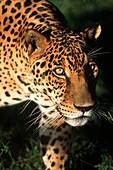 Jaguar Panthera onca Pantanal, Brazil, South America