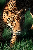 Jaguar Panthera onca Pantanal, Brazil, South America