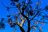 A tree illuminated by warm afternoon light as a contrast to the blue sky, Valldemossa, Mallorca, Spain
