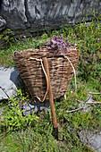 wild majoram in a basket, Theth, Albanian alps, Albania