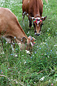 grazing cows on a flower meadow, Theth, Albanian alps, Albania