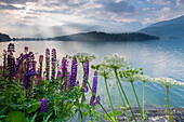 Die mehrfarbigen Lupinen bilden das ruhige Wasser des Silsersees im Morgengrauen, Maloja, Kanton Graubünden, Engadin, Schweiz, Europa