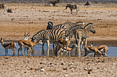 Animals flocking around a waterhole, Etosha National Park, Namibia, Africa