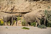 Desert elephant (African bush elephants) (Loxodonta africana), Khurab Reserve, northern Namibia, Africa