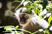 Vervet Monkey at Monkeyland Primate Sanctuary in Plettenberg Bay, South Africa, Africa
