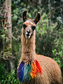Portrait Of A Llama With Colored Wool Necklace