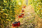 Wein Ernte der berühmten Nebbiolo Trauben, die Barolo Wein in Roagna Winery in Castiglione Falletto machen